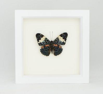 Framed Cracker Butterfly (Hamadryas amphinome)