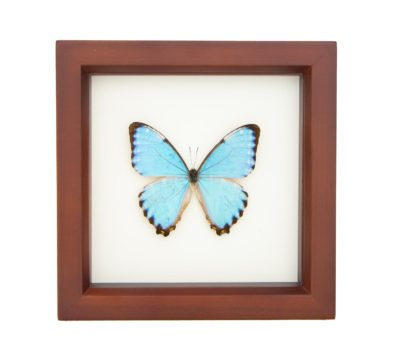 Framed Portis Morpho Butterfly (Morpho portis)