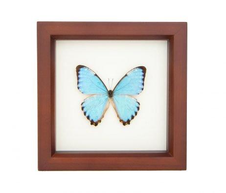 blue morpho portis butterfly