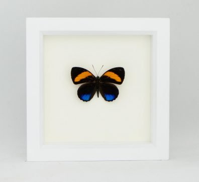 Framed 88 Excelsior Butterfly (Callicore pastazza)