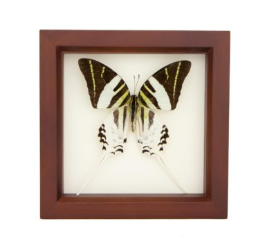 Framed Giant Swordtail Butterfly (Graphium androcles)