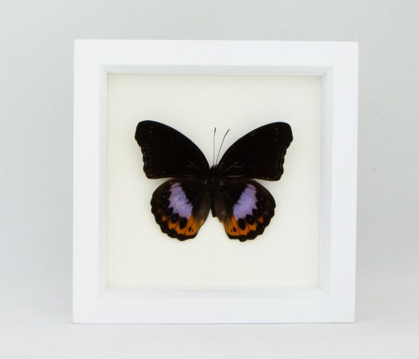 butterfly taxidermy white frame
