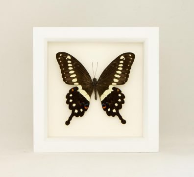 Framed central emperor swallowtail (Papilio lormieri)