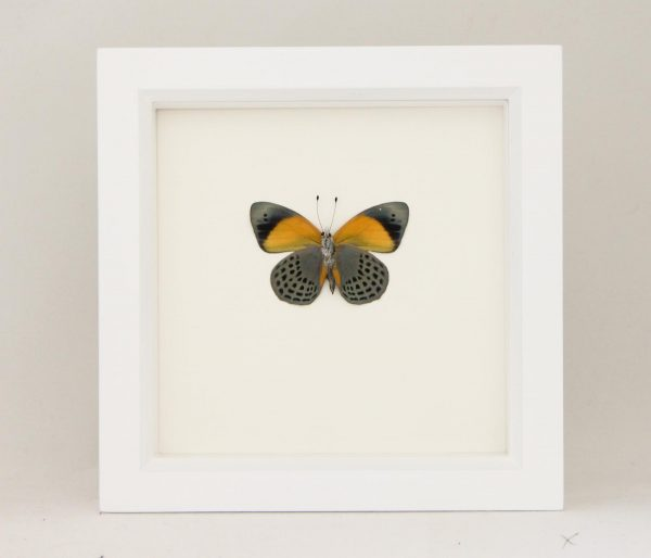 dotted glory butterfly