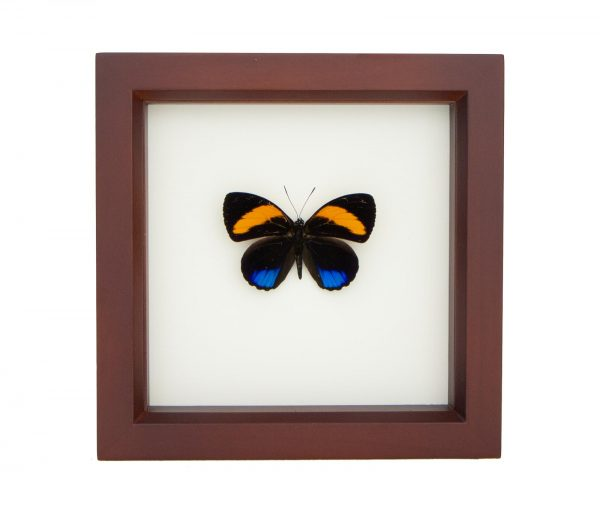 framed 88 butterfly shadowbox
