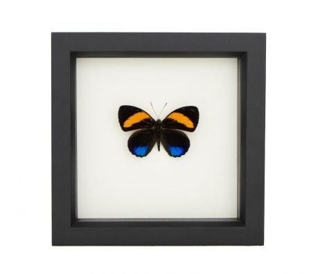framed Callicore pastazza butterfly