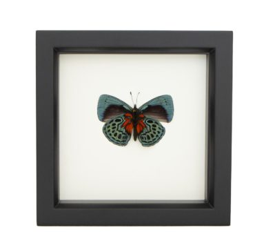 Framed Blue Glory Butterfly (Asterope optima)