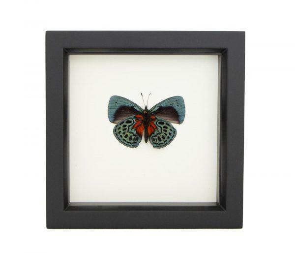 framed Callithea optima