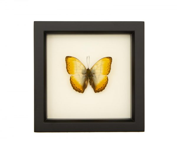 framed Cymothoe reinholdi