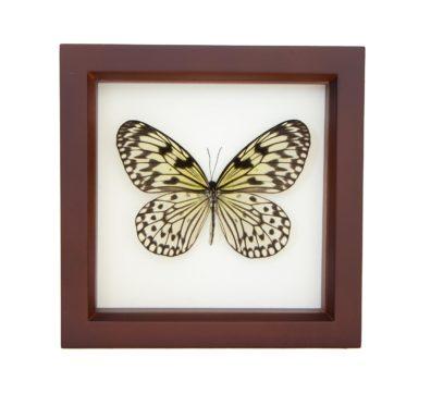 Framed Rice Paper Butterfly (Idea leuconoe)