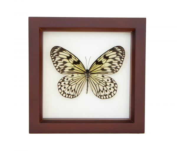 framed idea leuconoe