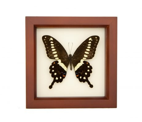 framed Lormiers swallowtail