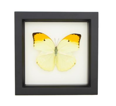 Framed Yellow Brimstone Butterfly (Anteos menippe)