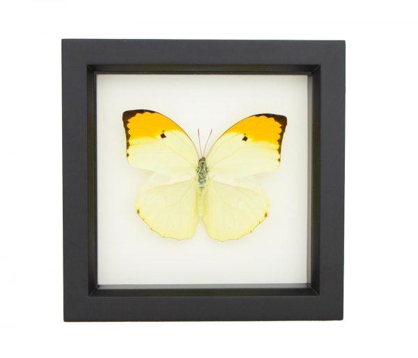 framed anteos menippe