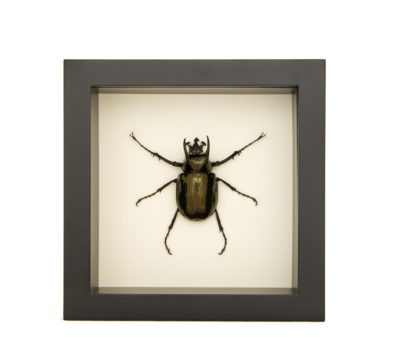 framed atlas beetle