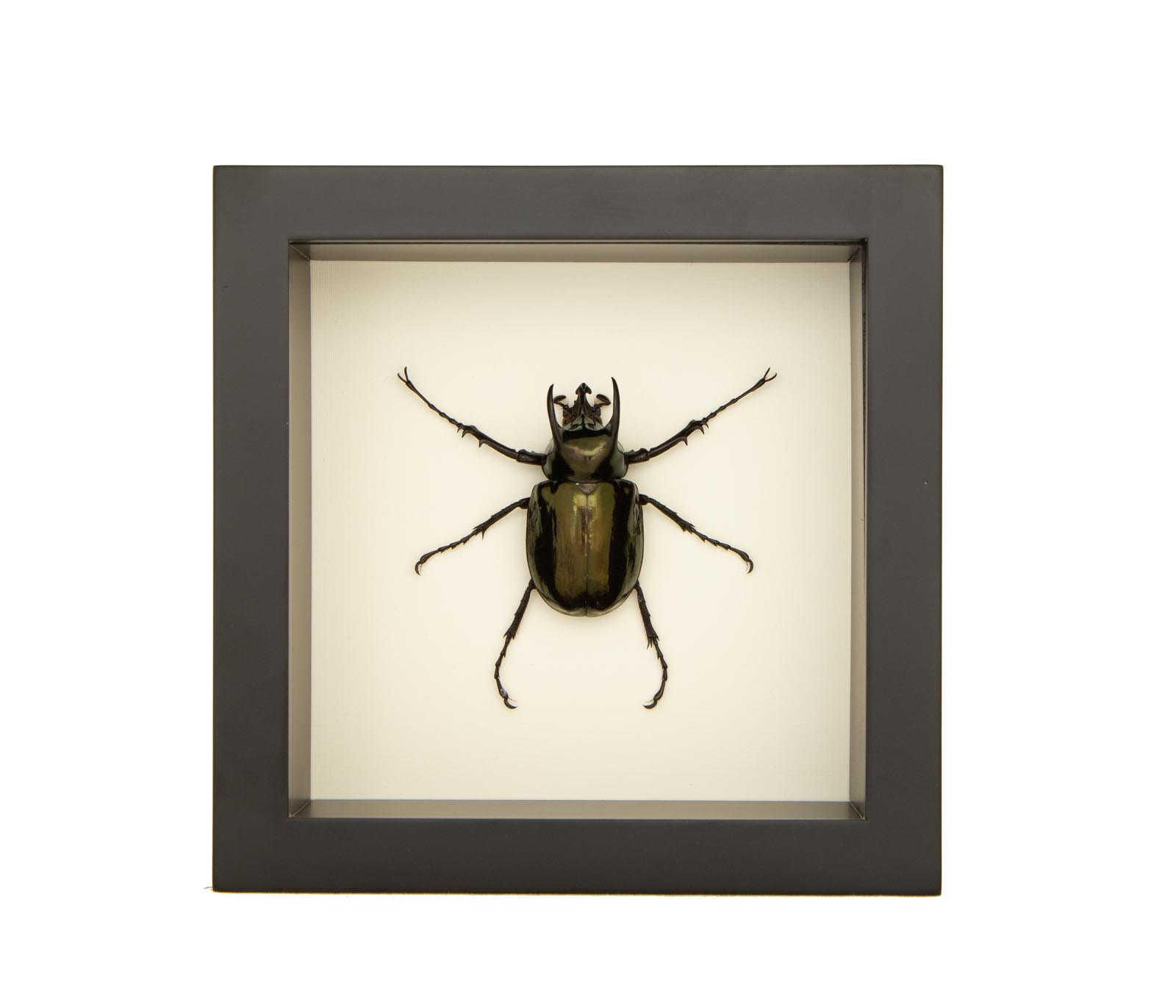 - NEW- Framed Atlas Beetle