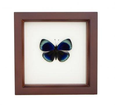 Framed Charles Darwin Butterfly (Asterope leprieuri)