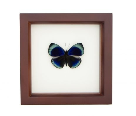 framed blue darwin butterfly