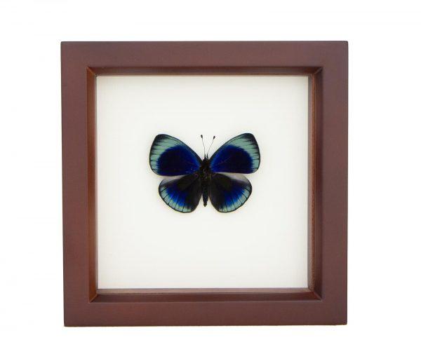 framed blue darwin butterfly