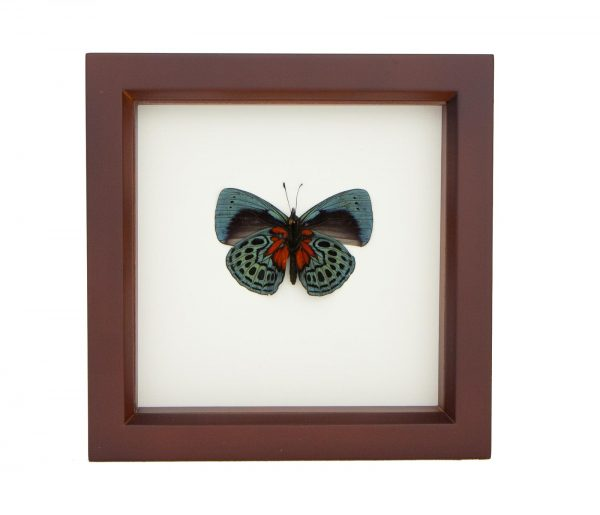 blue glory butterfly taxidermy