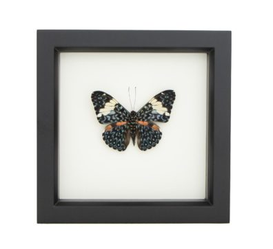 Framed Cracker Butterfly (Hamadryas amphinome)