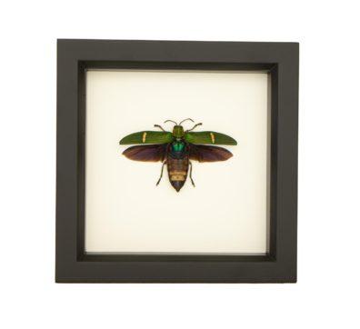 Framed Opulent Jewel Beetle (Catoxantha opulenta)