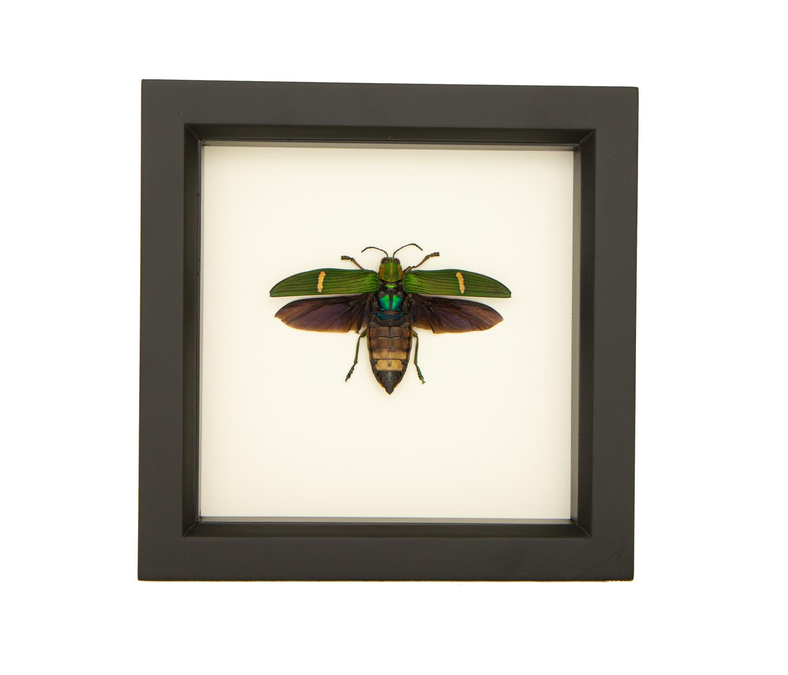 - NEW - Framed Opulent Jewel Beetle