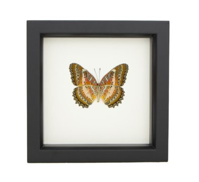 Framed Leopard Lacewing Butterfly (Cethosia biblis)