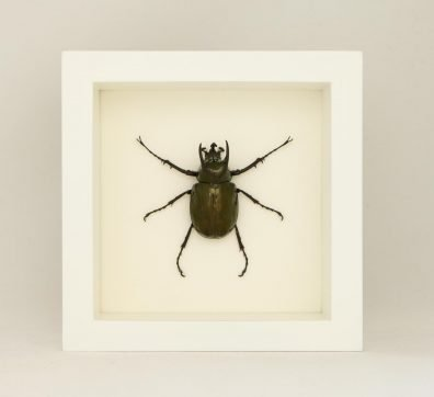 Framed Atlas Beetle (Chalcosoma atlas sintae)