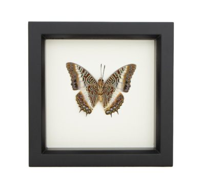 Framed White-barred Emperor Butterfly (Charaxes brutus)