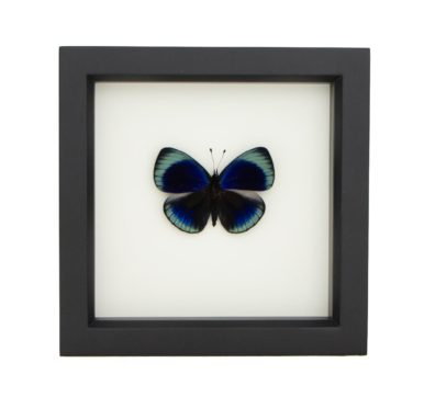Framed Charles Darwin Butterfly (Asterope leprieuri)