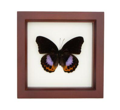 Framed Eggfly Butterfly (Hypolimnas pandarus)