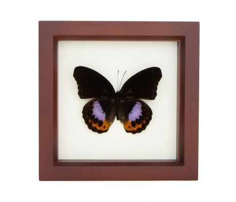 framed eggfly butterfly