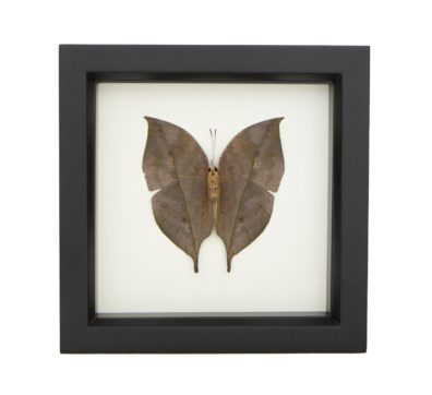 Framed Indian Oakleaf Butterfly underside (Kallima inachus)
