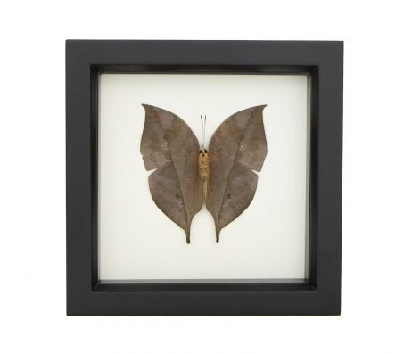 framed leaf mimic butterfly