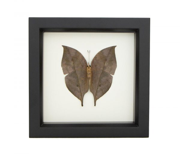 framed leaf mimic butterfly