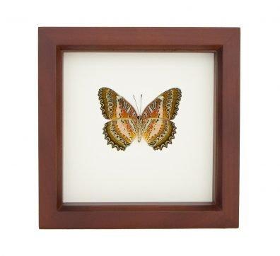 Framed Leopard Lacewing Butterfly (Cethosia biblis)