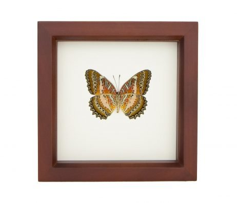 framed leopard lacewing butterfly