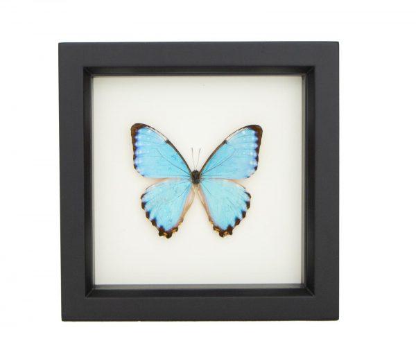 framed morpho portis butterfly