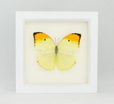 Framed Yellow Brimstone Butterfly (Anteos menippe)
