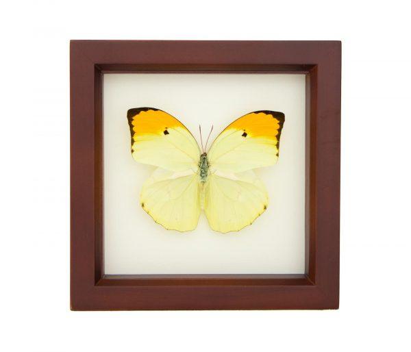 framed yellow brimstone butterfly