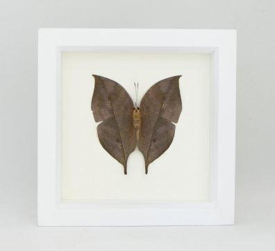 Framed Indian Oakleaf Butterfly underside (Kallima inachus)