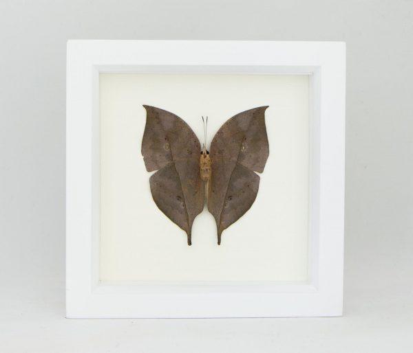 indian oakleaf butterfly framed