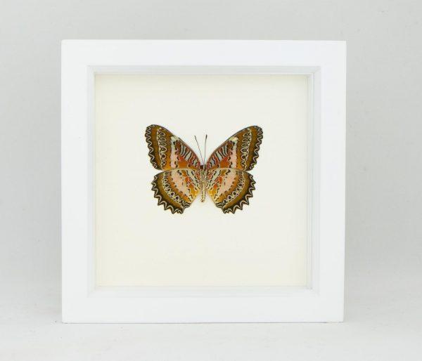 leopard lacewing butterfly