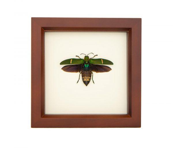 preserved jewel beetle