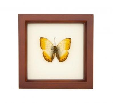 Framed Reinhold's Creamy Glider (Cymothoe reinholdi)
