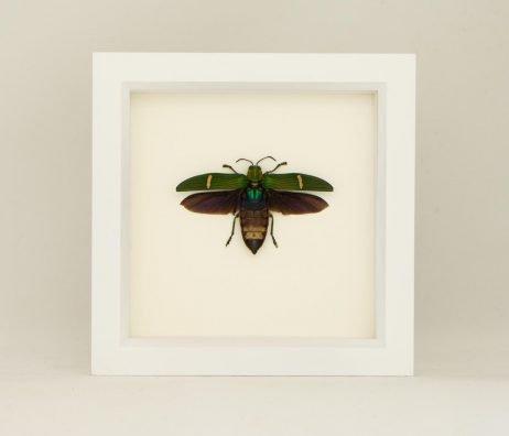 taxidermy catoxantha opulenta