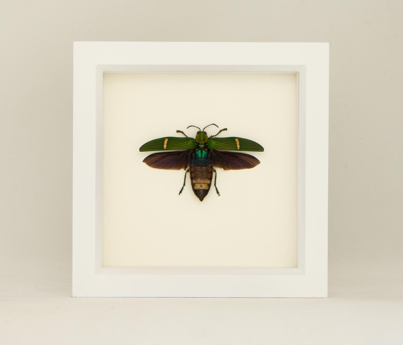 Real Catoxantha opulenta specimen. Jewel Beetle in Glass dome