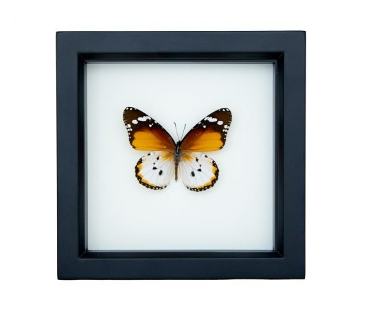 Framed Plain Tiger