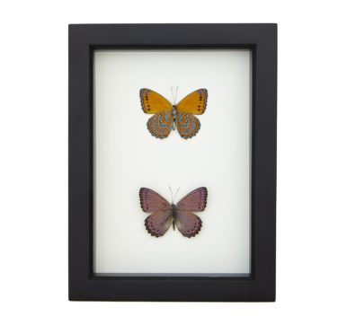 Meadow Wanderer Butterfly Collection